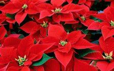 6-plantas-de-navidad-para-decorar-tu-hogar